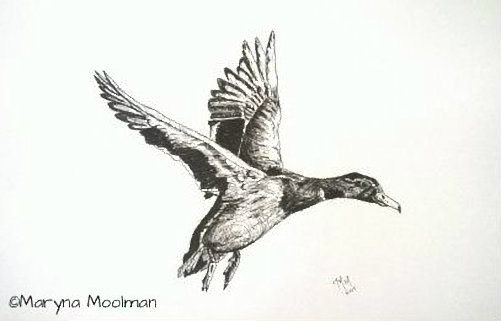 Duck in Flight drawing in Pen and Ink