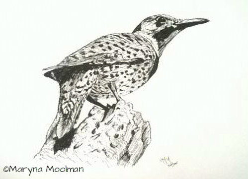 Northern Flicker bird drawing in Pen and Ink