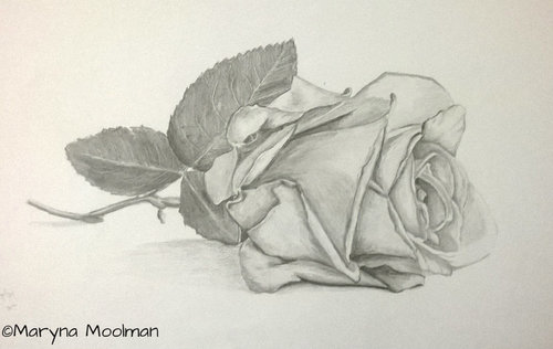 Rose drawing in Graphite